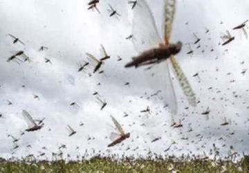 बिहार के कई जिलों में पहुंचा टिड्डियों का झुंड, चट कर रहे फसल, किसानों में हड़कंप!